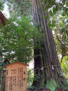 須佐神社の大杉(1)