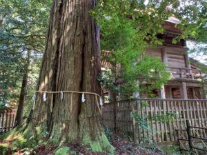 須佐神社の大杉(2)